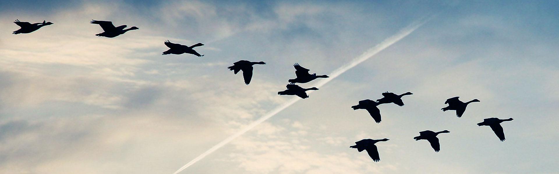 Oies qui volent dans le ciel